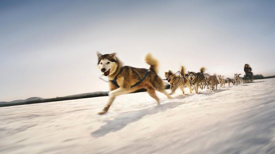 dogsled
