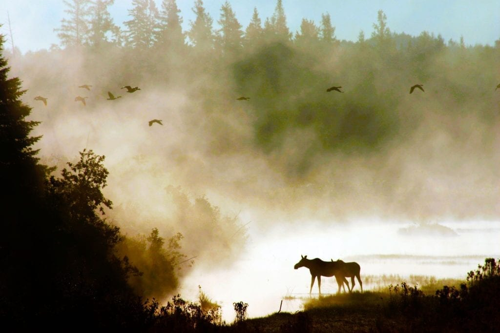 aroostook-state-park-moose